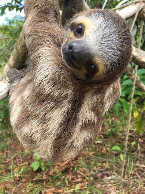 Did You Know Three Toed Sloths Can Turn Their Heads Almost