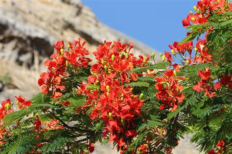 flamboyant de la r 233 union photos d un arbre