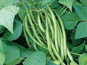 How To Grow French And Runner Beans