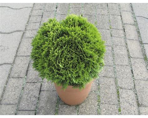 Koniferen Pflanzen-set 1, 3 Stk Co Bei Hornbach Kaufen