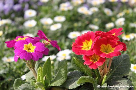 picture flower primula flower picture flower pictures 5548
