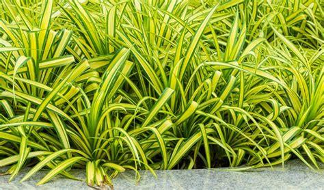 macam macam tanaman hias daun gedubarcom