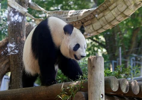 Japan Zoo Celebrates Rare Panda Birth  The First In Five. E Coupons. Star Logo Stickers. ? Signs Of Stroke. Bakery Banners. Gold Foil Banners. Sailboat Murals. Sport Interview Banners. Condemned Murals