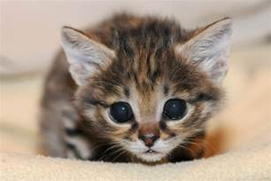 black footed cat black footed cat kitten squee