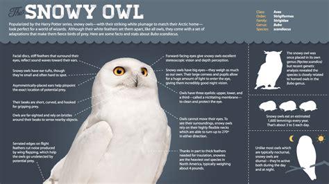 magic   snowy owl infographic   snowy owls