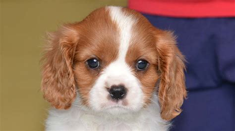 english toy spaniel information characteristics facts