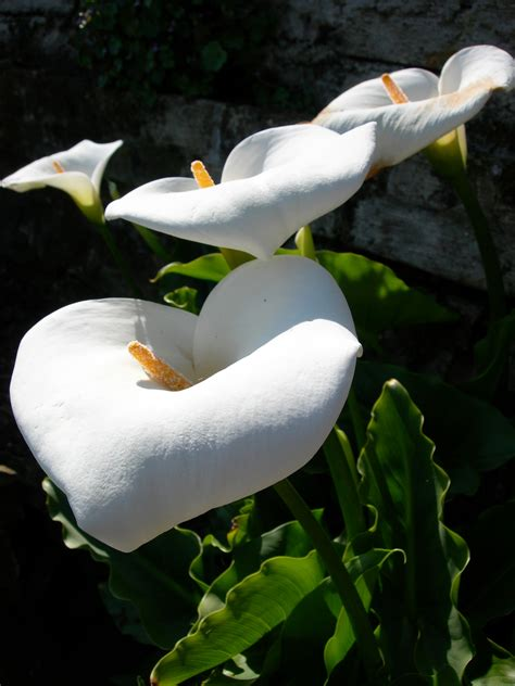 calla lilies south africa photo gallery u s national park service