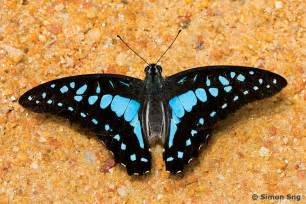 Blue Butterfly Species Name