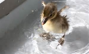 Cute Baby Ducks Swimming