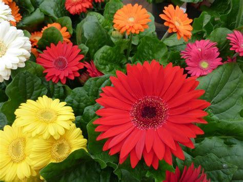 gerbera daisies daisy flower bouquet arrangements images beautiful black