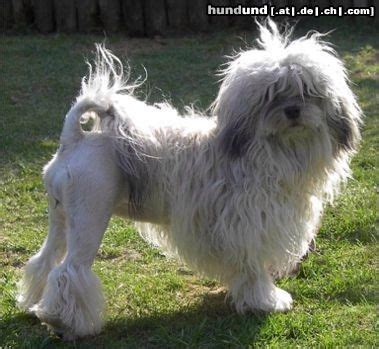 The löwchen is breed of dog that once had the dubious distinction, like the portuguese water dog and the havanese, of being the rarest dog in the world. Löwchen, Petit Chien Lion Foto 11103 - hundund.de