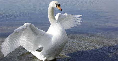 schwan bringt zusammen schwoerstadt badische zeitung