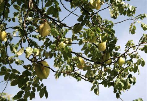 Star Fruit Tree Looking So Goodjpg Hires 720p Hd