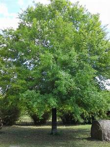unforeseen river: Willow Oak, Quercus Phellos