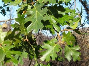 California Black Oak Tree