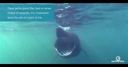 Basking Shark Sharks Aquarium Channel Monterey Bay