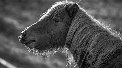wallpaper horse pony black  white animals