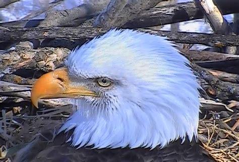 decorah bald eagles wikipedia