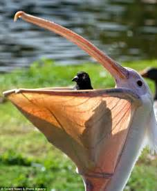 pelican swallows pigeon whole in london park daily mail