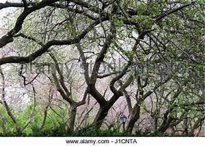 Rosa Blühende Bäume April : crabapple bl tenb umen an der new york botanical garden stockfoto bild 37775383 alamy ~ Michelbontemps.com Haus und Dekorationen