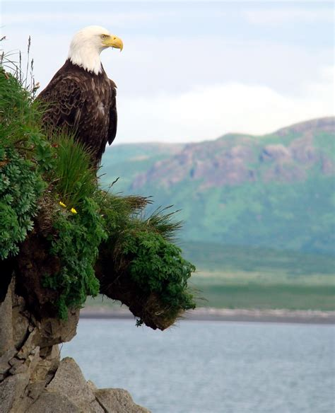 Perched On The Cliff Edge Overlooking The Sea by Eagle On Sea Cliff This Eagle Liked To Perch On The