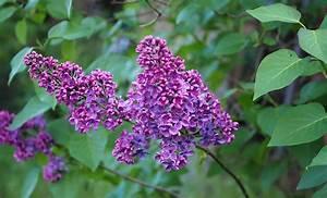 Wann Blüht Flieder : im garten und am wegesrand ohne flieder kein lila ~ Lizthompson.info Haus und Dekorationen