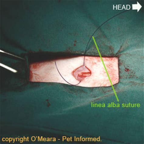 dog spaying surgery
