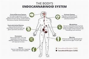 The Endocannabinoid System  How The Body Stays In Balance