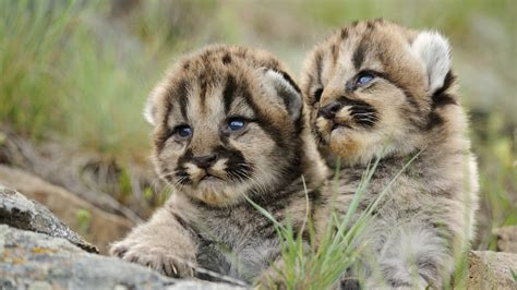 Detroit Lions Live Wallpaper Baby Puma Wallpapers Baby Animals