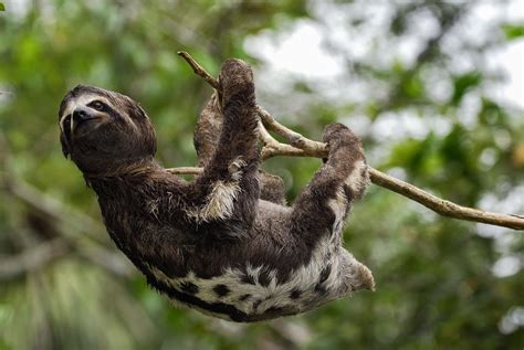 Bats and Sloths Don't Get Dizzy Hanging Upside Down—Here's Why
