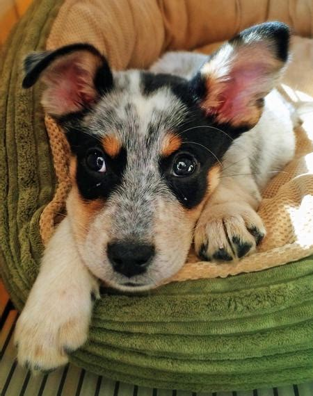 blue heeler mix puppies for dog breeds picture