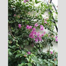 Pink Climber Flower By Sapphera On Deviantart