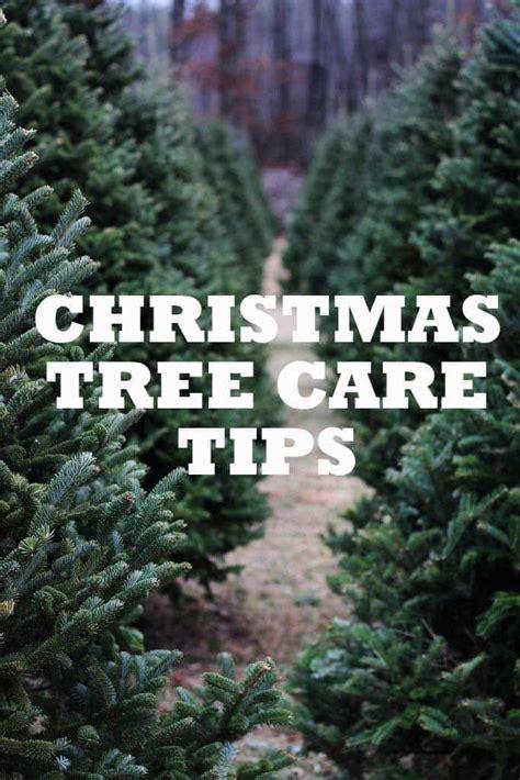 7 christmas tree care tips