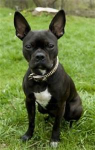 Bugg Dog Breed Information and Pictures