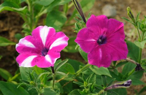 petunia flower information petunias flowers growth types fertilizer climate facts and many more