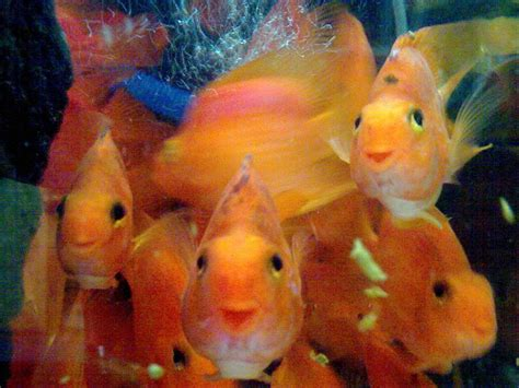 blood parrot fish pinterest discover and save creative ideas