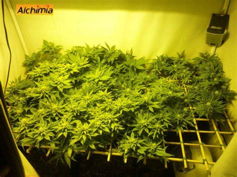 guide de culture cannabis interieur cannabis grow guide alchimia