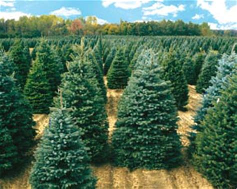 kris kringle trees home web site name