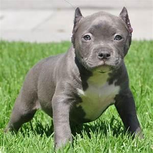 Baby Pit. Noticed my neighbors pitbull had puppies ...