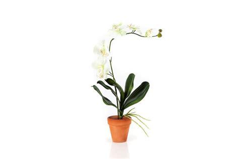 coltivare orchidee in vaso orchidee in vaso orchidee orchidee coltivazione in vaso