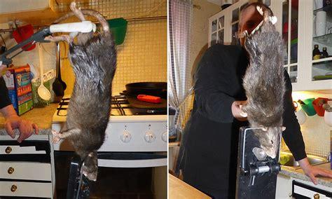 monster   rat terrorises swedish family