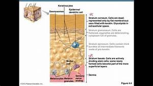 Skin Structure