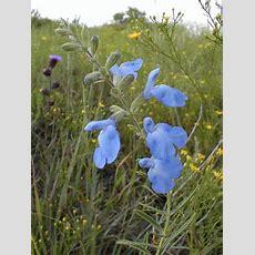 Blue Sage  2006 Kansas Wildflower Of The Year Blue Sage