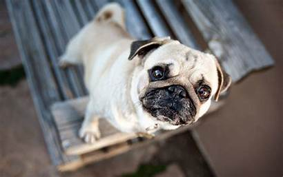 Pug Puppies Wallpapers