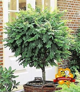 kugel akazie1 pflanze gunstig online kaufen mein With französischer balkon mit garten online shop auf rechnung
