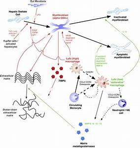 Major Mechanisms And Pathways That Regulate Liver Fibrosis