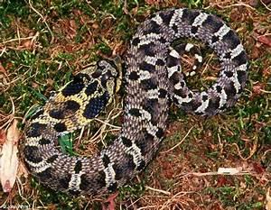 Eastern Hognose Snake (black color phase) 1; Image ONLY