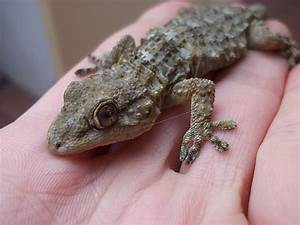 25 best ideas about Gecko on Pinterest
