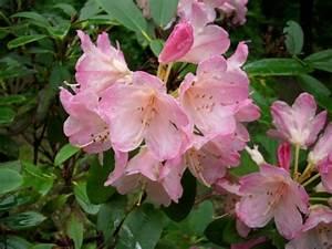 Braune Blätter Am Rhododendron : rhododendron rhododendron percy wiseman 39 pflanzen ~ Lizthompson.info Haus und Dekorationen