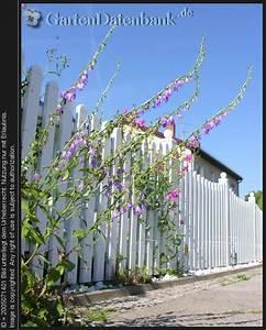 Unkraut Zwischen Steinen : bild ackerglockenblume campanula rapunculoides foto ~ Michelbontemps.com Haus und Dekorationen